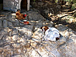 Hen and dog on Serifos.